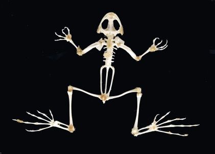 Some of evolution's 'newest' endoskeletons (a frog)...