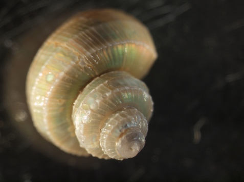 But gastropod (snail) shells are less flexible.