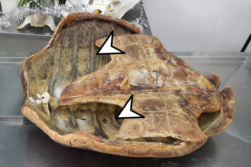 In Focus Chelonians Turtles And Tortoises Anatomy To You