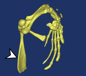 seaturtleforelimb1 3d3 copy