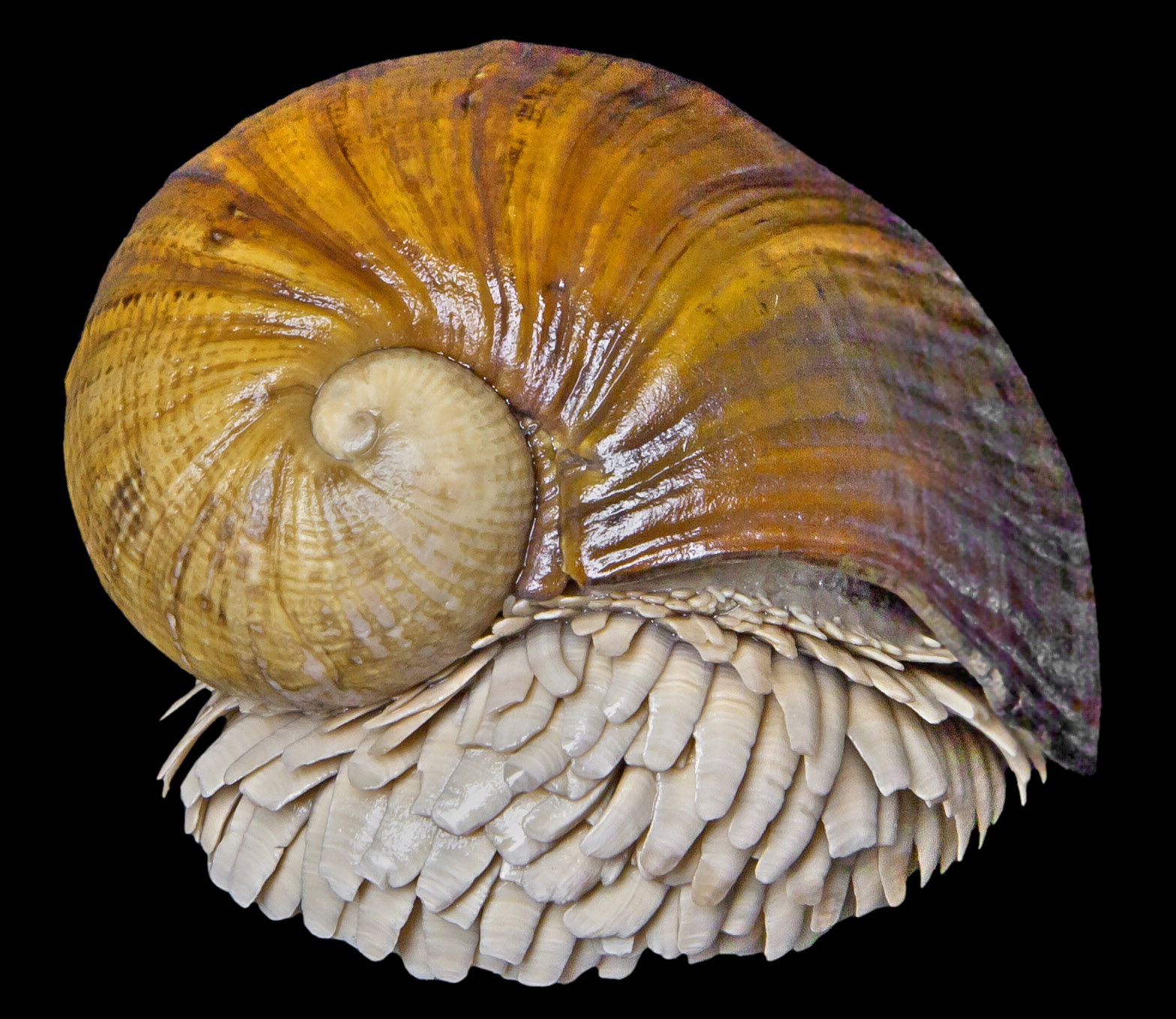 Scaly-foot gastropod: the iron snail of the Indian Ocean
