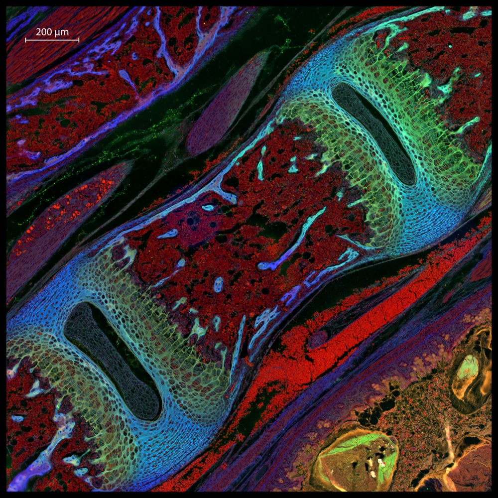 13_24523_Mouse-Vertebra-Large-Stitched-Extended-DOF-fluorescence-border-with-scale