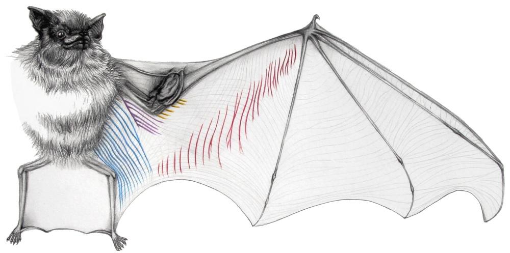 by Elissa Johnson Emballonuridae drawing