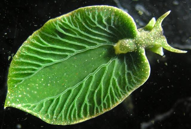 crybytes-elysia-chlorotica