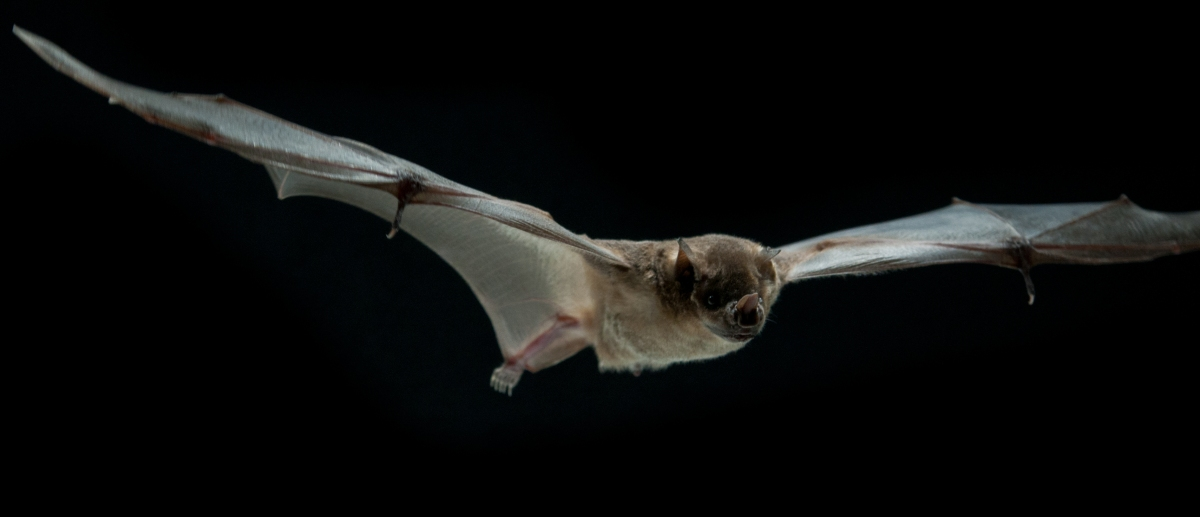 In Focus: Innovations in bats' skin helped flying mammals take off – Anatomy To You