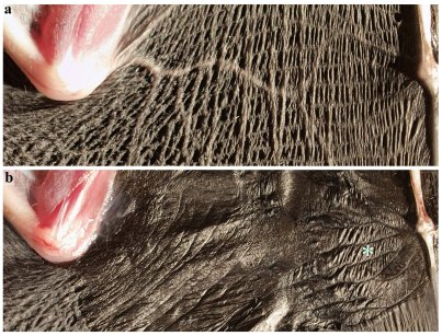 Effect of elastin fibers
