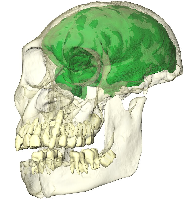 skull reconstruction_transparent_endocast_teeth_opaque_downsized