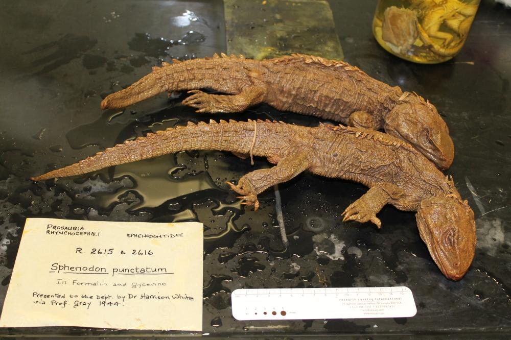 tuatara-preserved